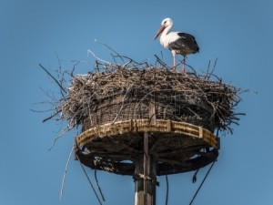 15694438-stork-in-its-nest-on-a-tall-pole